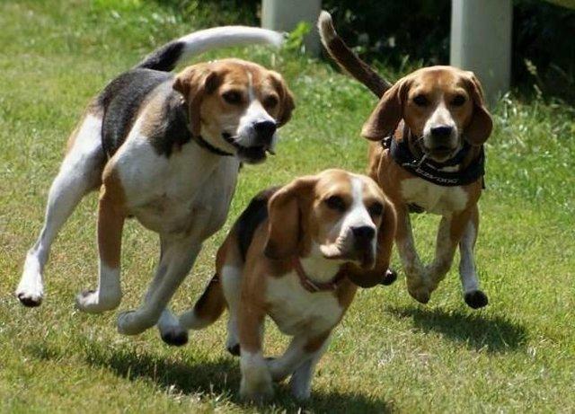 Beagle-caratteristiche