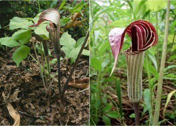 usare triphyllum arum omeopatia