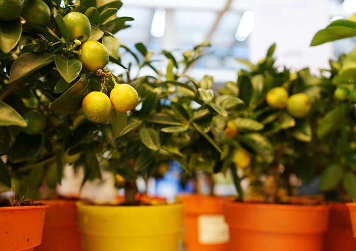 limoni frutti