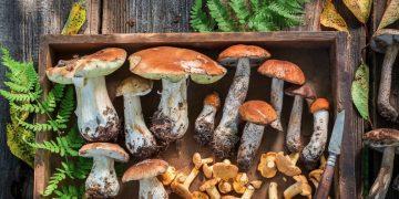 cassetta funghi porcini