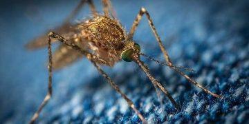 zanzara primo piano
